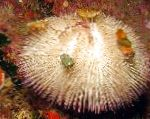 Purple Short Spine Pincushion Urchin  Photo