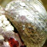 Margarita Snail characteristics and care