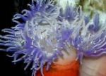 Red-Base Anemone characteristics and care