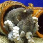 clams Common Octopuses  Photo