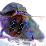 lobsters Dwarf Blue Leg Hermit Crab  Photo