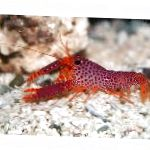 Debelius Reef Lobster  Photo