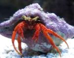 lobsters Scarlet Hermit Crab  Photo