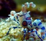Harlequin Shrimp, Clown (White Orchid) Shrimp characteristics and care