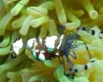 Pacific Clown Anemone Shrimp characteristics and care