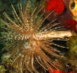Giant Fanworm characteristics and care