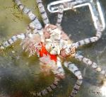 Pom Pom Crab characteristics and care