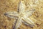 Sand Sifting Sea Star characteristics and care