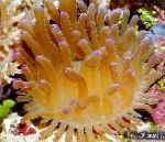 Atlantic Anemone  Photo