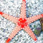 Red Starfish characteristics and care
