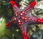 Red Knob Sea Star (Red Spine Star, Crimson Knob Star Fish) characteristics and care