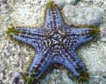 Choc Chip (Knob) Sea Star characteristics and care