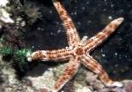 Burgundy Sea Star characteristics and care