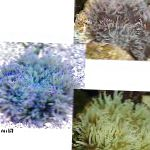 Beaded Sea Anemone (Ordinari Anemone) characteristics and care