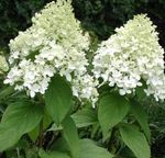 Photo Panicule Hortensia, Hortensia Arbre la description
