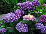 Photo Common hydrangea, Bigleaf Hydrangea, French Hydrangea description