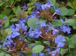 Photo Leadwort, Plumbago Bleu Hardy la description