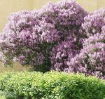 Photo Hungarian Lilac description