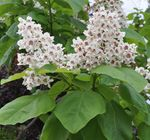 Photo Catalpa Sud, Catawba, Arbre De Haricots Indien la description