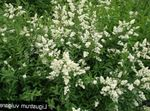 white Garden Flowers Privet, Ligustrum-vulgare Photo