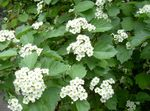 white Garden Flowers Midland hawthorn, Crataegus Photo