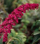 red Garden Flowers Butterfly Bush, Summer Lilac, Buddleia Photo