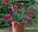 burgundy Garden Flowers Butterfly Bush, Summer Lilac, Buddleia Photo