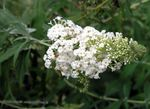 white Garden Flowers Butterfly Bush, Summer Lilac, Buddleia Photo