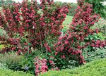 red Garden Flowers Weigela Photo