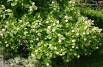 white Garden Flowers Buttonbush, Honey Bells, Honeyball, Button Willow, Cephalanthus Photo