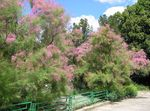 pink Garden Flowers Tamarisk, Athel tree, Salt Cedar, Tamarix Photo