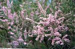 Photo Tamarisk, Athel tree, Salt Cedar description