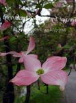 Photo Kousa Dogwood, Chinese Dogwood, Japanese Dogwood description