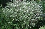 Photo Waxflower description