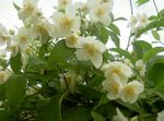 Photo Mock orange description
