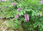 Photo Indigofera description