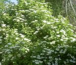 Photo European Cranberry Viburnum, European Snowball Bush, Guelder Rose description