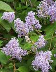Photo Californian Lilac description