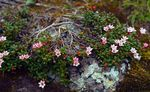Photo Trailing azalea, Alpine Azalea description