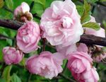 Photo Double Flowering Cherry, Flowering almond description