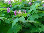 Photo Purple-flowering raspberry, Thimbleberry description