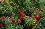 red Garden Flowers Quince, Chaenomeles-japonica Photo