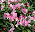 Photo Azaleas, Pinxterbloom description