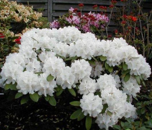 """Képtalálat a következőre: """"hefér rhododendron"""""""