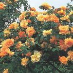 Photo Rose Rambler, Climbing Rose description