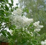 Photo Lilas Commun, Lilas Français la description