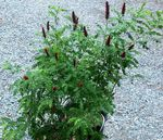 burgundy Garden Flowers Amorpha-nana Photo