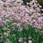 Photo Bolton's Aster, White Doll's Daisy, False Aster, False Chamomile description