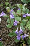 Photo Ale Ivy, Field Balm, Ground Ivy description