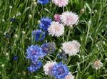 Photo Knapweed, Star Thistle, Cornflower description
